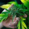 Anvisa aprova registro de remédio à base de Cannabis pela 1ª vez no Brasil