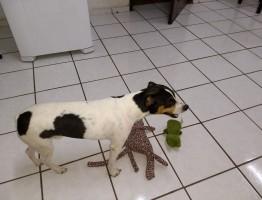Duque (cão  Fox paulistinha)