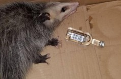 Gambá foi encontrado bêbado após invadir loja de bebidas -- Foto:  Divulgação Emerald Coast Wildlife Refuge