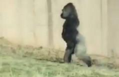 Gorila de zoológico da Filadélfia andando sobre duas patas. - Foto: Twitter / @phillyzoo