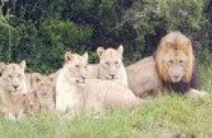 Caçadores são devorados por leões em reserva na África do Sul
