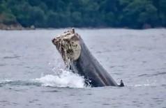Baleia nada sem a cauda no Pacífico - Foto: Divulgação/Fundación Macuáticos