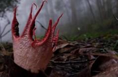 Fungo dedos do Diabo ou fungo-polvo - Foto: Reprodução/Twitter(People's Daily, China)