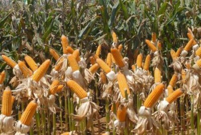 Exportação do milho em grão cresceu de 56,6%  (Foto: Elza Fiúza/Agência Brasil)