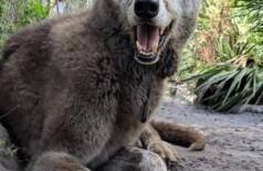Yuki no santuário - Foto: Divulgação/Shy Wolf Sanctuary