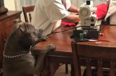 Pitbull fofo rasga sua almofada favorita e observa