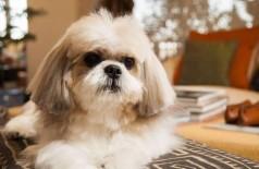 Imagem de cadela da mesma raça da que foi cremada, uma Shih Tzu - Foto: Bárbara Lopes