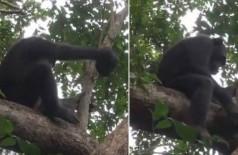 Chimpanzé quebra casco de tartaruga em árvore no Gabão Foto: Reprodução/YouTube(MaxPlanckSociety)