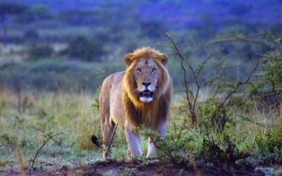 14 leões escaparam do Kruger National Park, na África do Sul (Foto:  Reprodução Facebook/ Kenya Wildlife Service)