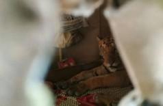 Tigre deitado em cama em casa na Índia Foto: Reprodução/Twitter(India's Wildlife Trust)
