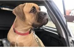 Maru é uma cadela de 11 meses da raça mastim inglês. Foto: Instagram / @homeless_dog_krsk