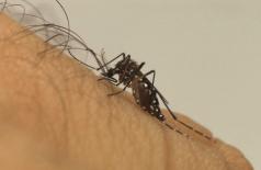 Zica vírus é transmitido pela picada do mosquito Aedes aegipty (Foto: Divulgação Friocruz)