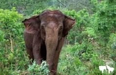 Ramba foi resgatada de um circo no Chile após sofrer maus-tratos (Foto: Divulgação/Santuário de Elefantes Brasil)