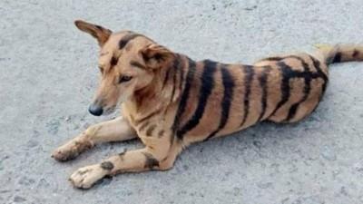 Cão pintado como tigre de Bengala (Foto: Reprodução/Deccan Herald)