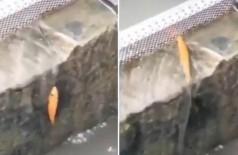 Peixe sobe degrau - Foto: Reprodução/Twitter