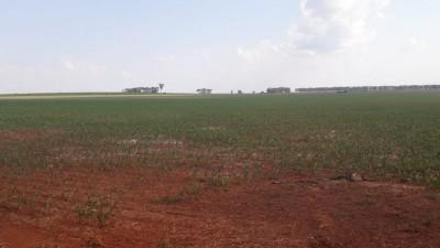 Plantio do milho segunda safra passa de 1,7 milhão de hectares em Mato Groso do Sul (Foto: André Bento)