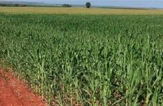 Expectativa para produtividade do milho é revisada e sobe para 76 sacas por hectare