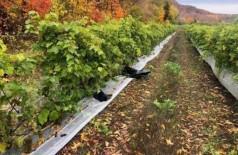Videiras sem uvas em vinícola no Canadá: furto durante madrugada Foto: Reprodução/Vignoble Coteau Rougemont