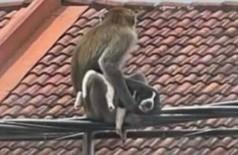 Macaco 'sequestra' filhote de cão na Malásia (Foto: Reprodução)