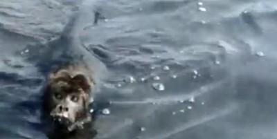 Empresários fazem vídeo de macaco nadando no rio Paraguai-Mirim (assista)