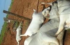 No total, 23 vacas morreram atingidas por raio (Terezinha Rodrigues/Facebook)
